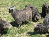 Image of our black mohair goat herd